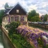 Wisteria is beautiful toxic plant in the garden. Here surrounding a house by the Canal.